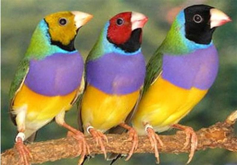 محموله قاچاق پرنده در کاشان کشف و ضبط شد