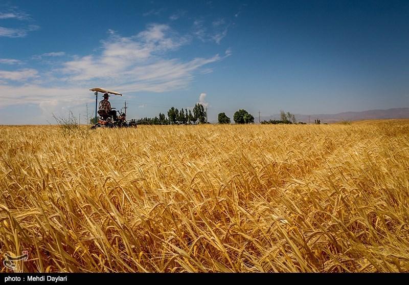 500 میلیارد تومان یارانه برای خرید گندم در استان گلستان پرداخت شد