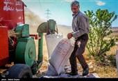 تولید گندم در چهارمحال و بختیاری کاهش یافت
