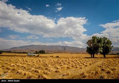 بالصور.. حصاد القمح فی حقول مدینة أهر شمال غرب إیران
