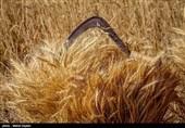 دولت 50 درصد بهای گندم کشاورزان را پرداخت نکرده است