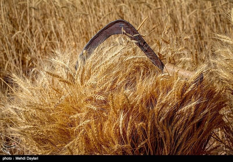 نرخ خرید تضمینی گندم بر اساس تورم موجود در کشور تعیین میشود