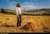 کردستان|نارضایتی کشاورزان دهگلانی از تاخیر در پرداخت پول گندم