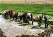 کشت برنج در اوج بحران خشکسالی و تنش آبی / چرا کشاورزان مصوبه ممنوعیت کشت را نادیده گرفتند؟