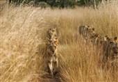 «عبور شیرها» در عکس روز نشنال جئوگرافیک