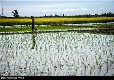 نشا دوم برنج - مازندران
