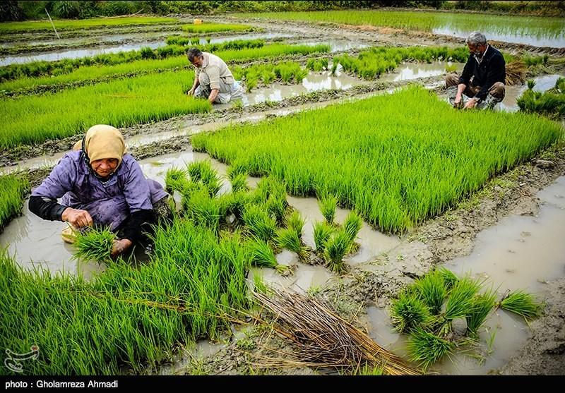 چرا ملت ایران باید اولین مصرفکننده «برنج تراریخته» در جهان باشد
