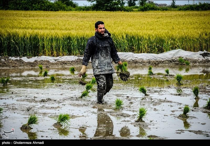 """پشتپرده تلاش برای کشت """"برنج تراریخته"""" در ایران چیست"""