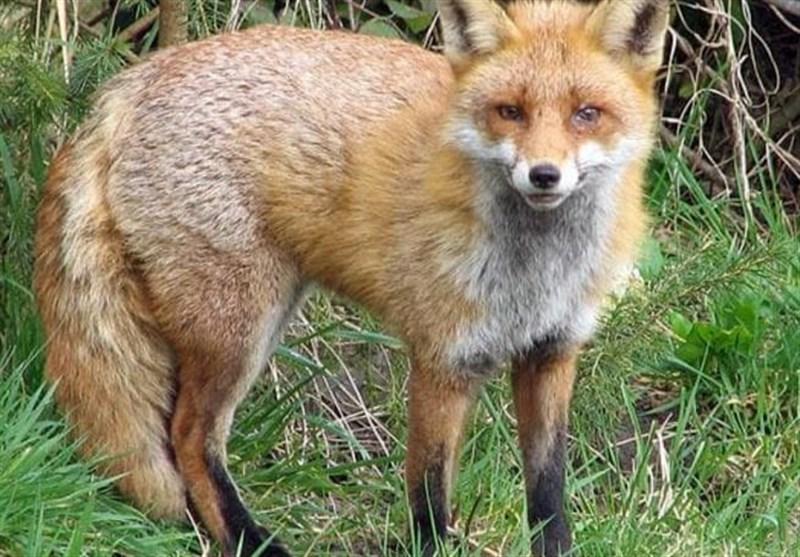 """""""روباهها"""" خطری برای بخش زایمان بیمارستانی در انگلیس"""