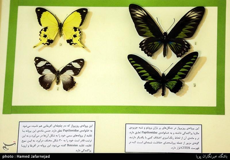 139605301640227011712894 - «نه» به جمعآوری پروانه / گرانترین پروانههای دنیا کدامند؟