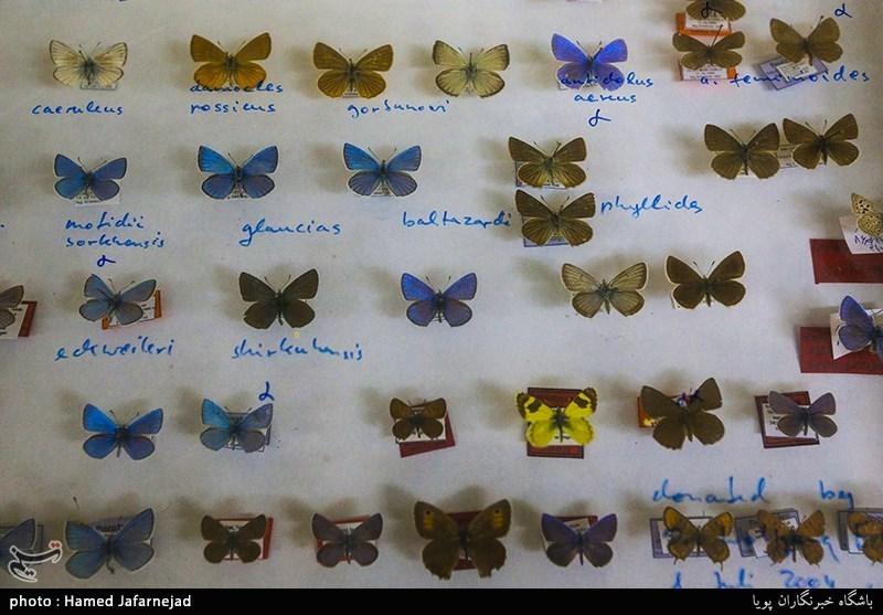 1396053016402461711712894 - «نه» به جمعآوری پروانه / گرانترین پروانههای دنیا کدامند؟