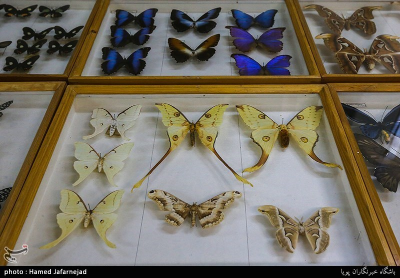 139605301640248611712894 - «نه» به جمعآوری پروانه / گرانترین پروانههای دنیا کدامند؟