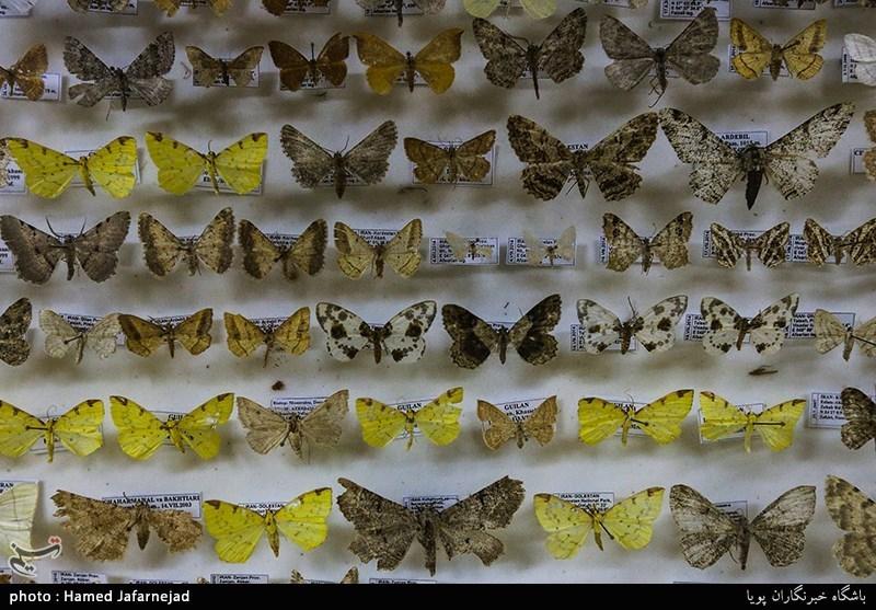1396053016402522611712894 - «نه» به جمعآوری پروانه / گرانترین پروانههای دنیا کدامند؟