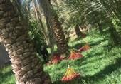 معجزهای از امام حسن (ع) در بیان امام ششم / سبز شدن نخل خشک با معجزه امام حسن (ع)
