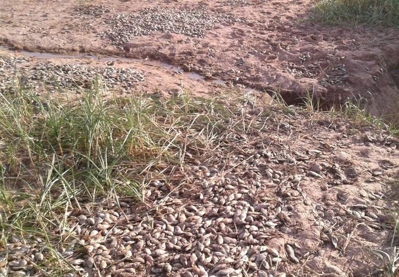 آلودگی رودخانه گاماسیاب کرمانشاه سبب مرگ هزاران قطعه ماهی شد