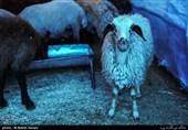 کشتار پرخطر گوسفند در خیابانهای تهران؛ بی تفاوتی شهرداری و دامپزشکی