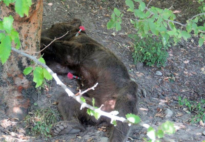 تیر خلاص مسئولان محیط زیست بر قلب خرس پارک ملی گلستان ,