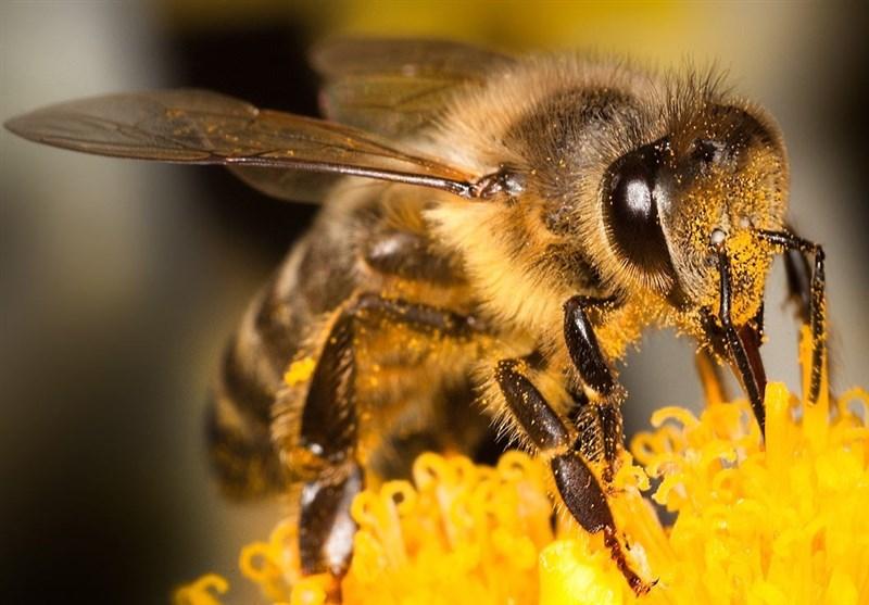 """تأثیر """"نیش زنبور"""" بر درمان بیماری کرونا؟!"""