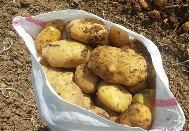 تولید سیبزمینی دراردبیل به سمت غیراقتصادی شدن در حرکت است