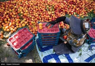 باغداران امسال به علت کم آبی و تنش های ایجاد شده با شرکت آب منطقه ای تهران ،محصول خود را زودتر از موقع مقرر برداشت کرده اند که این امر منجر به نیم بها شدن محصولات شده است