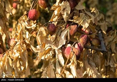 درختان خشک شده به علت بی آبی که فاصله بسیار کوتاهی با کانل آب محمدیه دارند. و این د رحالی است که 72 درصد از آب کانال محمدیه به شهرستان رباط گریم فرستاده می شود.