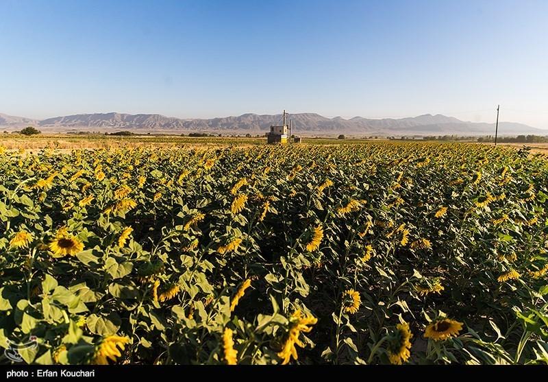 98 درصد مطالبات محصول آفتابگردان کشاورزان گلستان پرداخت شد