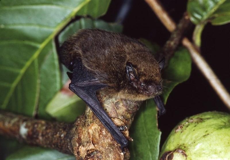 """بیش از 25 هزار گونه در معرض انقراض/ """"خفاش جزیره کریسمس"""" منقرض شد"""