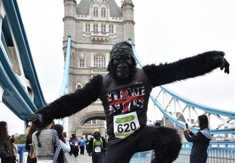گوریلها در خیابانهای لندن مسابقه می دهند+عکس