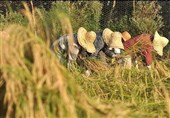 برداشت راتون در اراضی شالیزاری استان گیلان آغاز شد