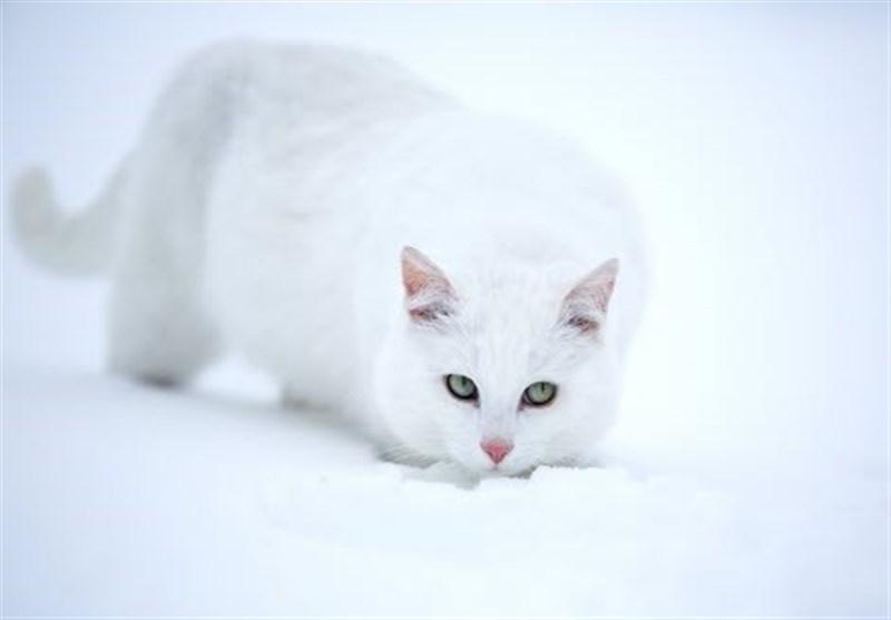 جاسوسی سیا با حیوانات؛ عملیات گربه شنوا چیست؟