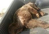 سمنان| یک قلاده خرس قهوهای در شاهرود بر اثر تصادف تلف شد