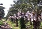 برداشت خرمای مجول کشت بافتی در بوشهر آغاز شد