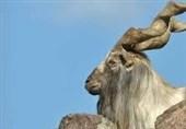 """""""مارخور"""" پاکستان کی قومی جانور"""