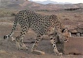 Family of Iranian Cheetahs Observed in Semnan Wildlife National Park (+Video)