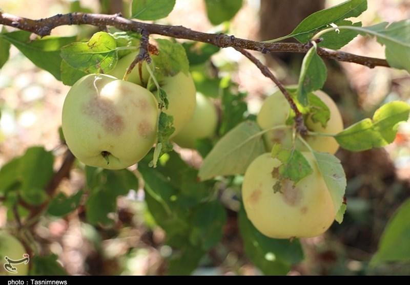 خسارت تگرگ به باغات سیب شهرستان اهر به روایت تصویر