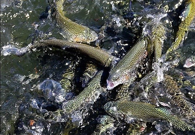 خسارت 900 میلیارد تومانی از محل دورریز ضایعات ماهی قزل آلا