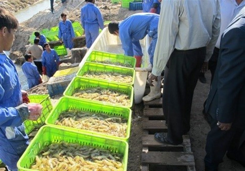 افزایش 20 درصدی تولید میگوی پرورشی در میناب