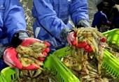 تولید میگوی پرورشی در استان بوشهر به 29 هزار تن افزایش مییابد