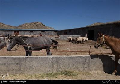 پرورش اسب ترکمن در شهرستان راز و جرگلان - استان خراسان شمالی
