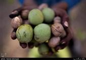 19.8 درصد شاغلان استان مرکزی در بخش کشاورزی فعالیت دارند