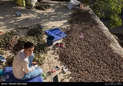 برداشت گردو و عرضه آن به بازار یکی از منابع امرار معاش اهالی روستای مرزنشین «تکله قوز» می باشد