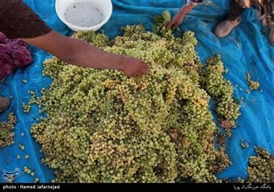 برداشت انگور یکی از منابع درآمدی کشاورزان روستای بشدره از توابع راز و جرگلان خراسان شمالی می باشد
