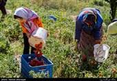 نوسانات بازار تولید محصولات کشاورزی را با مشکل روبهرو کرده است