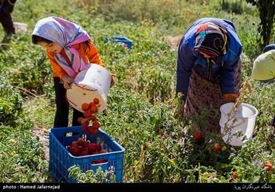 برداشت گوجه فرنگی یکی از منابع درآمدی کشاورزان روستای سوخسو رحیمی از توابع خراسان شمالی می باشد