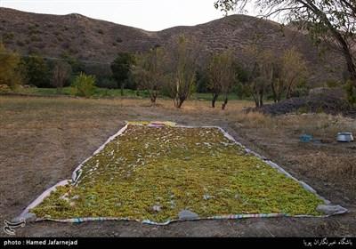 برداشت انگور و کشمش یکی از منابع درآمدی کشاورزان روستای بشدره از توابع راز و جرگلان خراسان شمالی می باشد