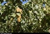 لرستان  800 هکتار طرح توسعه باغات در اراضی شیبدار و کم بازده انجام شد