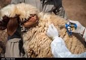 41 درصد واکسیناسیون دامهای استان به دام عشایر اختصاص دارد