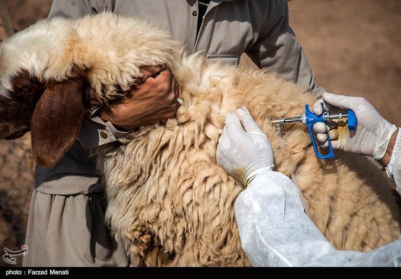 واکسیناسیون احشام توسط سازمان دامپزشکی