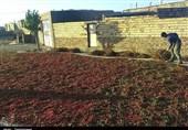 بیرجند| کمبود بارگاه زرشک در سومین قطب تولید این محصول در استان خراسان جنوبی