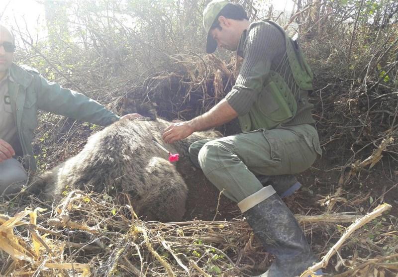 زندهگیری و رهاسازی خرس گرفتار در تله در آمل + فیلم و عکس
